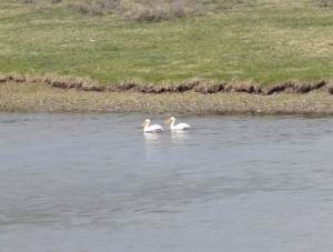 pelicans in Yellowstone