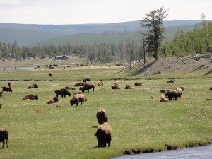 many bison in yellowstone