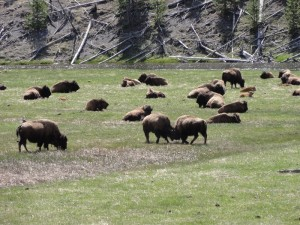 bison fighting yellowstone
