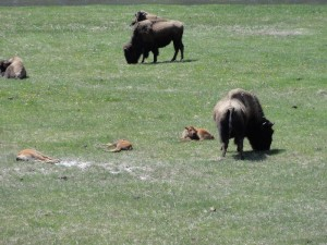 Baby buffalo in Yellowstone
