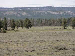 Lone Wolf in Yellowstone