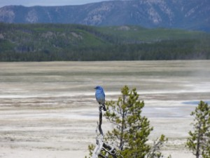 Mountain blue bird Yellowstone